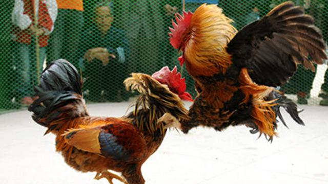 Quick-Ways-to-Win-Online-Cockfighting-Gambling